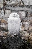 stock photo of snowy owl  - Beautiful view of white owl sitting close  - JPG