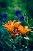 picture of stargazer-lilies  - orange lilies blooming in the garden - JPG