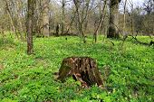 foto of rotten  - Old rotten wooden stump on meadow in forest at sunny spring day - JPG