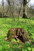 stock photo of rotten  - Old rotten wooden stump in forest at sunny spring day - JPG
