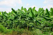 image of dong  - Banana plantations in Dong Nai province southern Vietnam - JPG