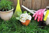 foto of primrose  - Garden rake - JPG