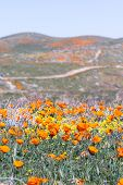stock photo of early spring  - Early spring flowers blooming along the walking trail of the Antelope Valley Poppy Preserve in California - JPG