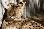 picture of wildcat  - close up of an Oncilla or little spotted cat in a Californian zoo a protected wildcat - JPG