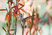 foto of hummingbirds  - female anna - JPG