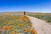 image of antelope  - Trail thru the field covered in spring flowers in Antelope Valley California Poppy Preserve - JPG
