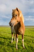 pic of iceland farm  - Icelandic horse with beautiful sunset light and overcast sky - JPG