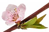 foto of peach  - Peach blossom isolated on white background - JPG
