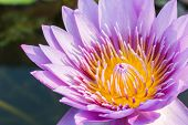 image of water lily  - purple leaf lotus flower on water photo stock water lily - JPG
