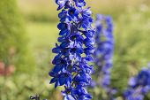 foto of diarrhea  - The Delphinium is a genus of the family Ranunculaceae Ranunculaceae - JPG