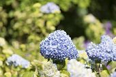 foto of hydrangea  - Hydrangea Hydrangea is a genus in the family of Hydrangeaceae Hydrangeaceae - JPG