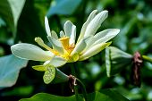 image of tranquil  - A Beautiful Blooming Yellow Lotus Water Lily Pad Flower - JPG
