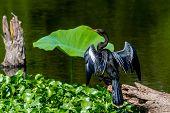 image of wild turkey  - A Majestically Posed Black Anhinga  - JPG