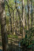 image of swamps  - Bald Cypress trees in the swamps of First Landing State Park located in Virginia Beach Va - JPG