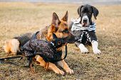 picture of miniature pinscher  - Brown German Sheepdog And Black Miniature Pinscher Pincher Together On Dry Grass - JPG
