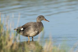 picture of gadwall  - Gadwall (Anas strepera) drake standing in shallow water