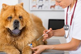 stock photo of chow-chow  - Veterinary placing a catheter via a Chow Chow in the clinic - JPG