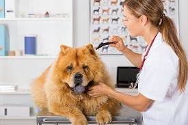 pic of chow-chow  - Veterinary conducting an inspection of the ear to a Chow Chow clinic - JPG