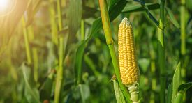 stock photo of sweet-corn  - Ear of corn in a corn field in summer before harvest. A ray of sunlight illuminates corn ** Note: Shallow depth of field - JPG