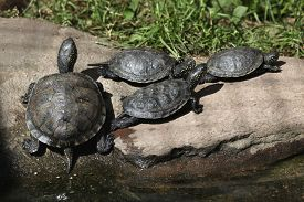 picture of terrapin turtle  - European pond turtle  - JPG