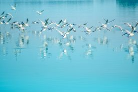 picture of flock seagulls  - Flock of seagulls flying over lake reflection of birds on water surface - JPG