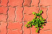 Small Weed On Red Concrete Block Footpath poster