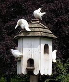 White doves at roosting box.