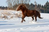 stock photo of shire horse  - Brown horse shire run gallop in winter - JPG