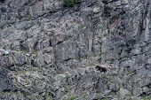 Grizzly In Bottom Third Of Rock Wall Scavenges For Food poster