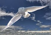 picture of snowy owl  - Snowy Owl in Flight winter Saskatchewan Canada - JPG