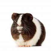 stock photo of guinea  - guinea pig sits on a white background - JPG