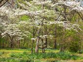 stock photo of dogwood  - gorgeous dogwoods flowering in springtime in Tennessee - JPG