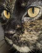 Domestic Cat Face poster