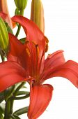 image of asiatic lily  - Lovely Asiatic Lily Bloom on a White Background - JPG