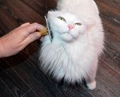 Combing A White Angora Fluffy Cat With Yellow Eyes For Grooming poster