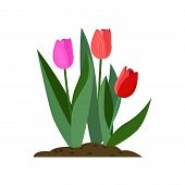 Tulips Cartoon Illustration. Red And Pink Flowers With Green Leaves. Spring Flowers Concept. Vector  poster