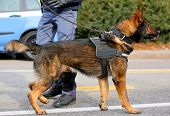 Dog Canine Unit Of The Police Called K-9 During An Anti-terrorist Operation With Legs Of Policeman poster