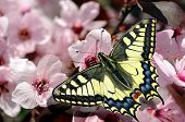 Beautiful Butterfly Machaon On A Branch Of Cherry Blossoms. Beautiful Pink Cherry Blossoms With Butt poster