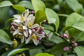 Close Up Sweet Lime Flowers In Tree Branch. It Is Also Known As Palestinian Sweet Lime Or Indian Swe poster