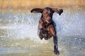 Nice Portrait Of The Thoroughbred Hunting Dog German Shorthaired Pointer Brown Color. Funny Ears Poi poster
