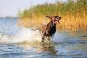 Playful Funny Muscle Brown Dog Is Running On The Water Splashing It Around On The Background With Ye poster