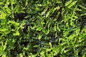 foto of eukaryote  - green algae texture  - JPG