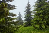 The Fir-tree Forest In The Fog For Dramatic Background. poster