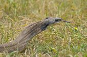 picture of harmless snakes  - Western Hognosed Snake in the short grass - JPG