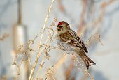 stock photo of sagebrush  - Common Redpoll bird a woman was sitting on the dead stems of sagebrush eat seeds in winter - JPG