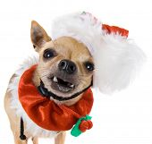 picture of chihuahua mix  - a tiny chihuahua dressed up in a santa outfit - JPG