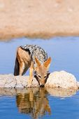 picture of jackal  - Black backed jackal drinking cool water in the hot kalahari - JPG