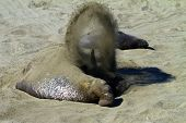 elephant seal covering in sand