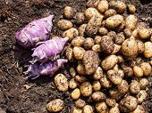 image of rich soil  - potatoes and kohlrabi freshly harvested from a kitchen garden on top of rich dark garden soil - JPG