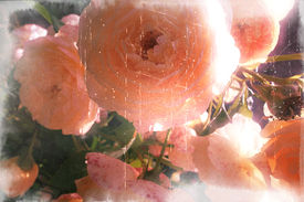 picture of pompous  - bush of the pink roses in pompous blossom - JPG